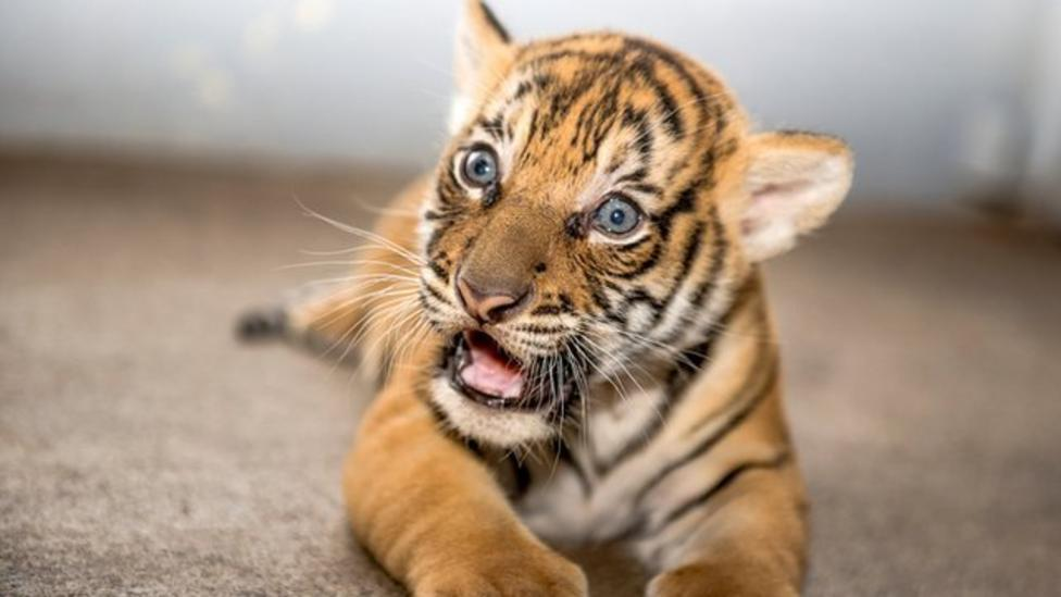 Peek-a-boo: Tiger cub comes out to play