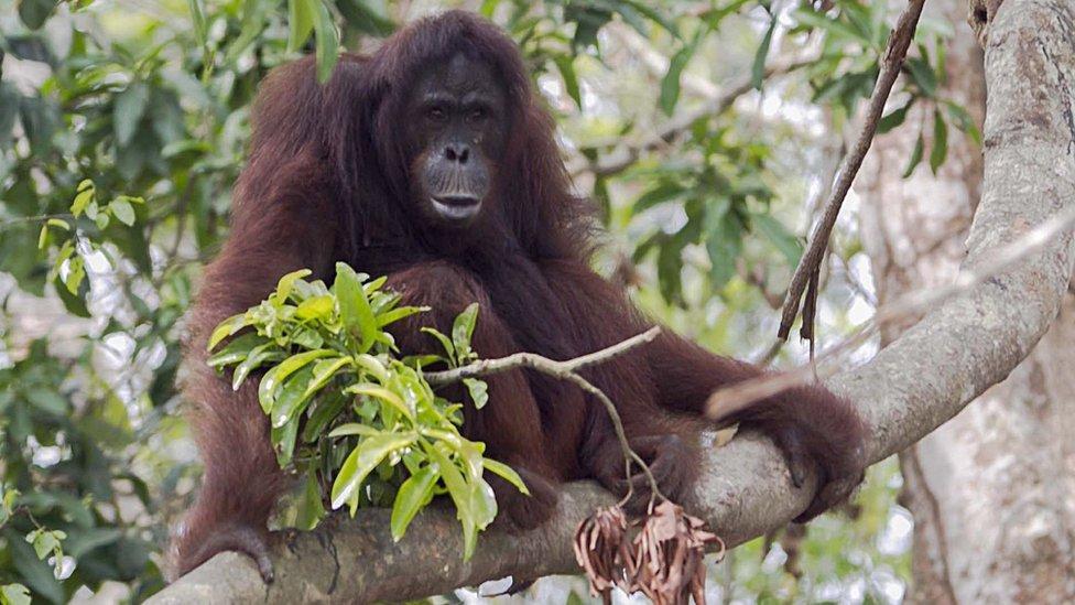 Forest fires threaten orangutans in Indonesia