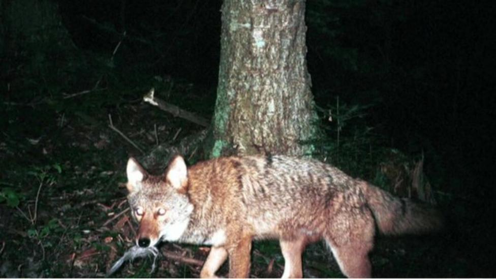 Coyote wolf cross-breed thriving