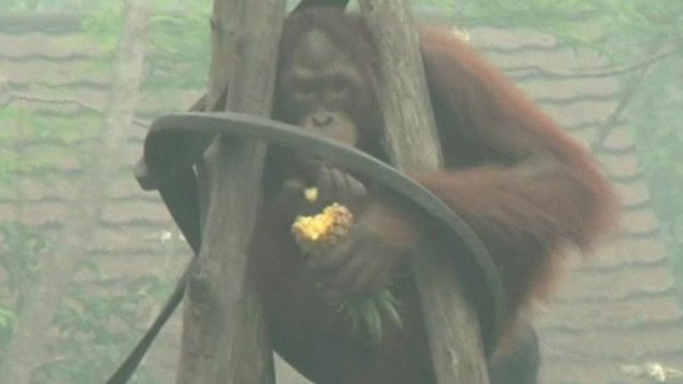 Concern for orangutans in Indonesia