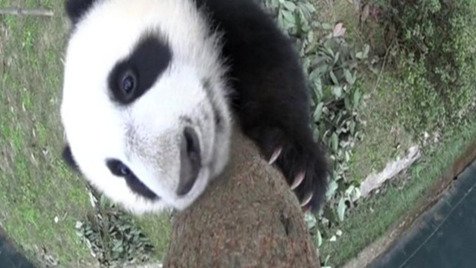 Mischievous panda cubs caught on camera