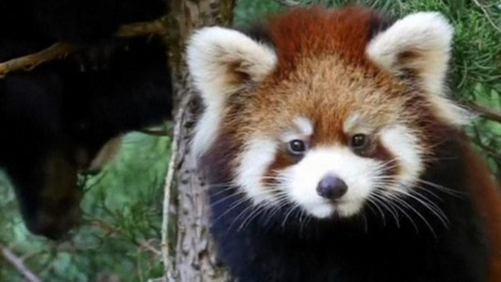 Baby red pandas explore their new home