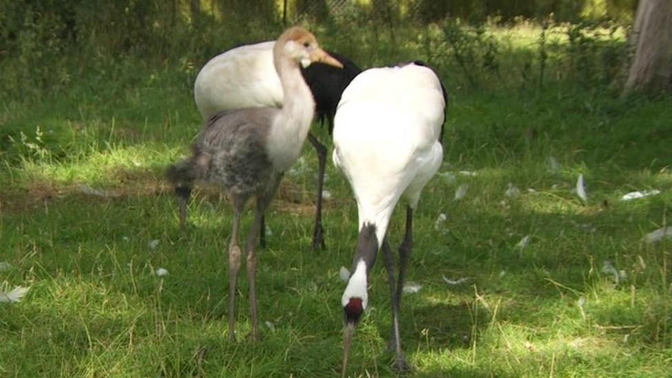 Rare crane chick successfully adopted