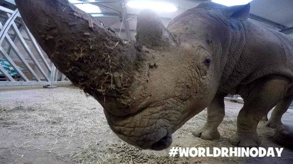 Rhinos at the zoo on World Rhino Day