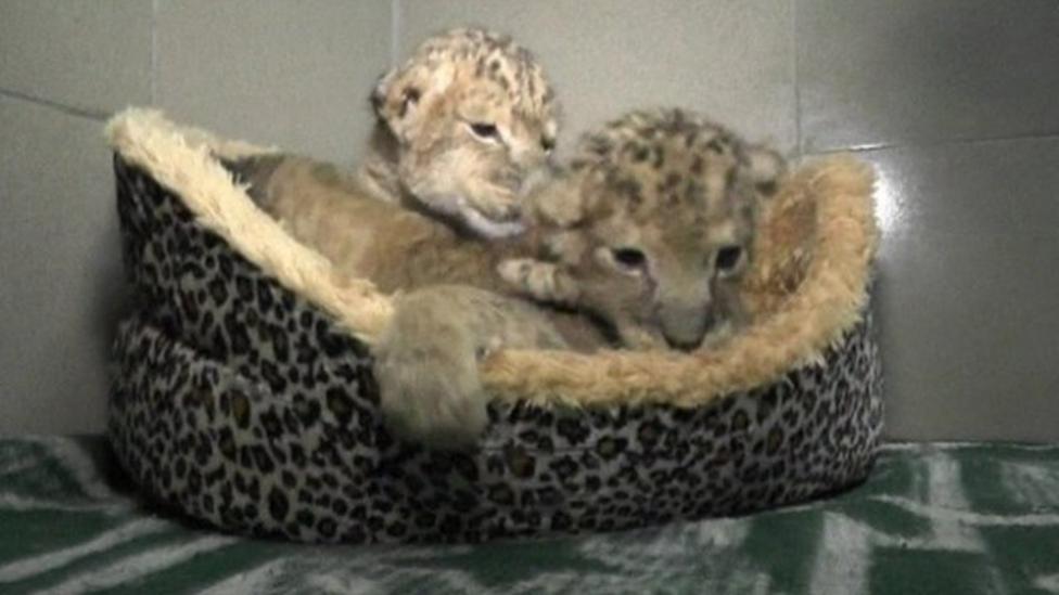 Rare Bengal tiger cubs born in zoo