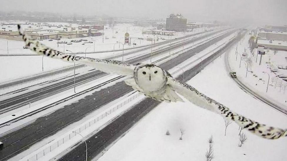 Watch this snowy owl's photobomb