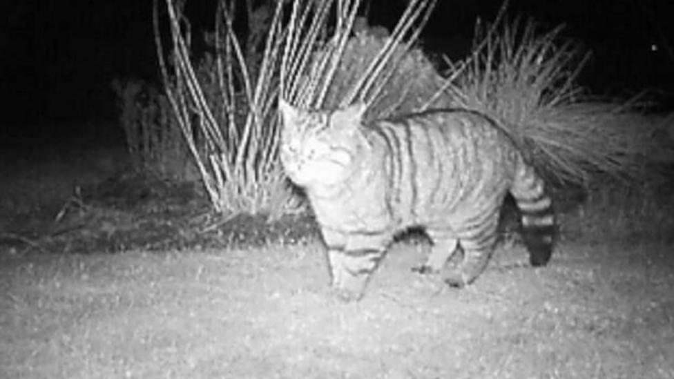 Plan to save the Scottish wildcat