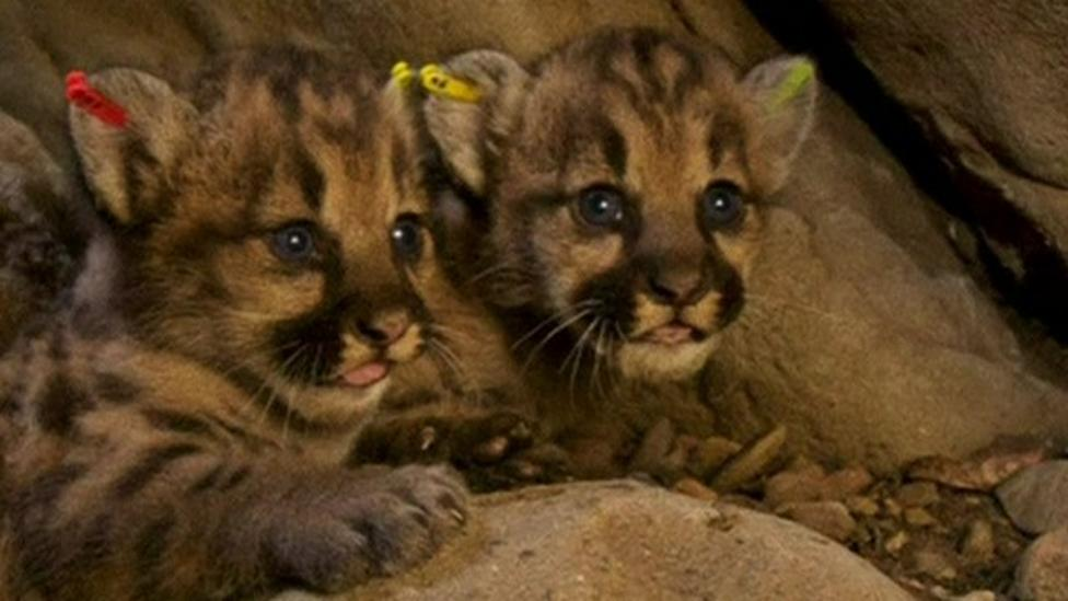 Mountain lion cubs found in US