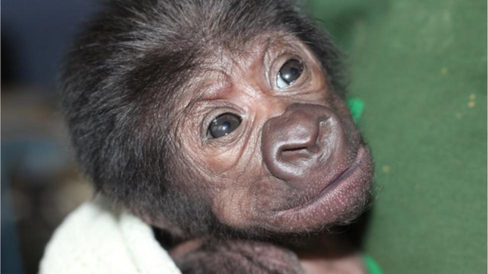 Baby gorilla born after rare operation