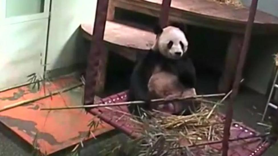 Panda panic - Sunshine gets spooked