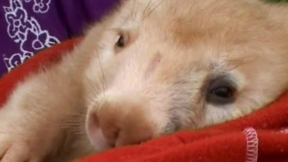 Rare white wombat found in Australian outback