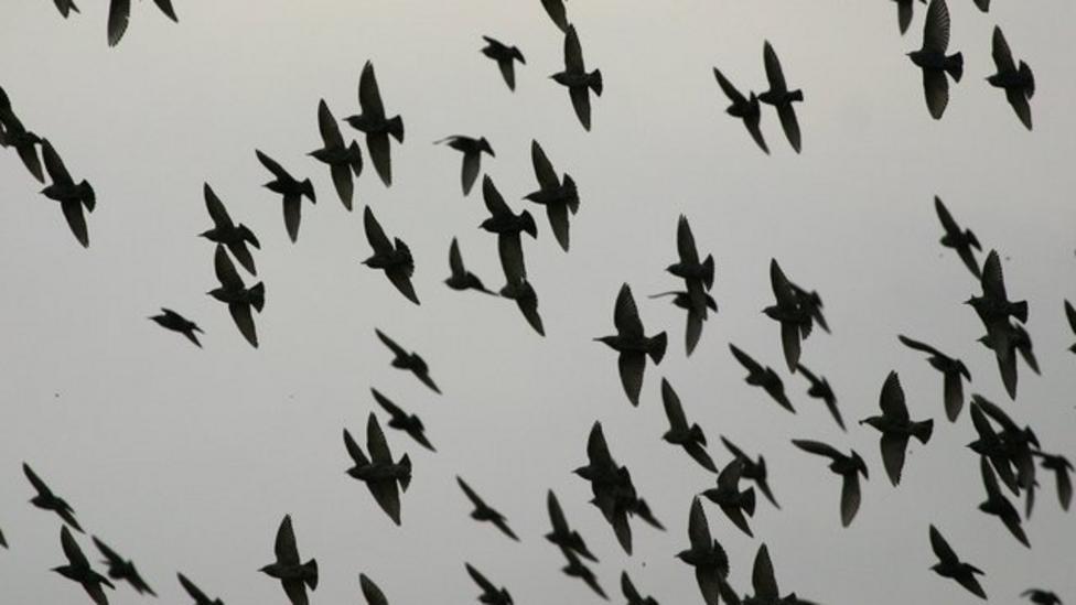 Birds perform amazing aerial display