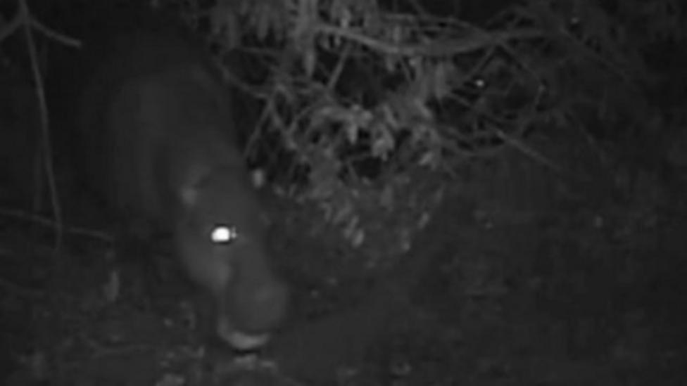 Rare hippo caught on camera