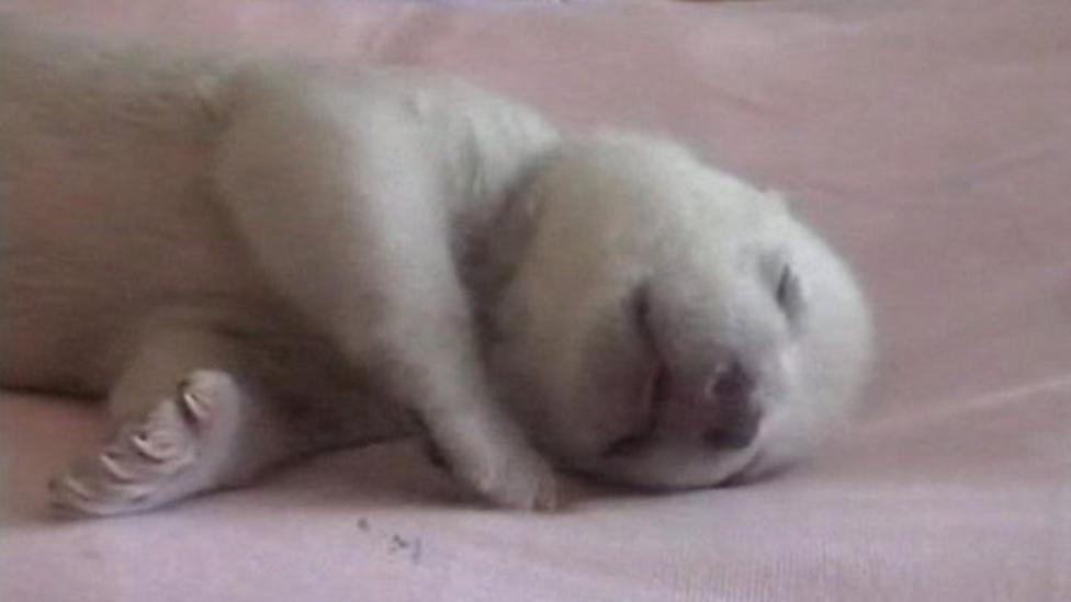 Rejected polar bear cub is safe