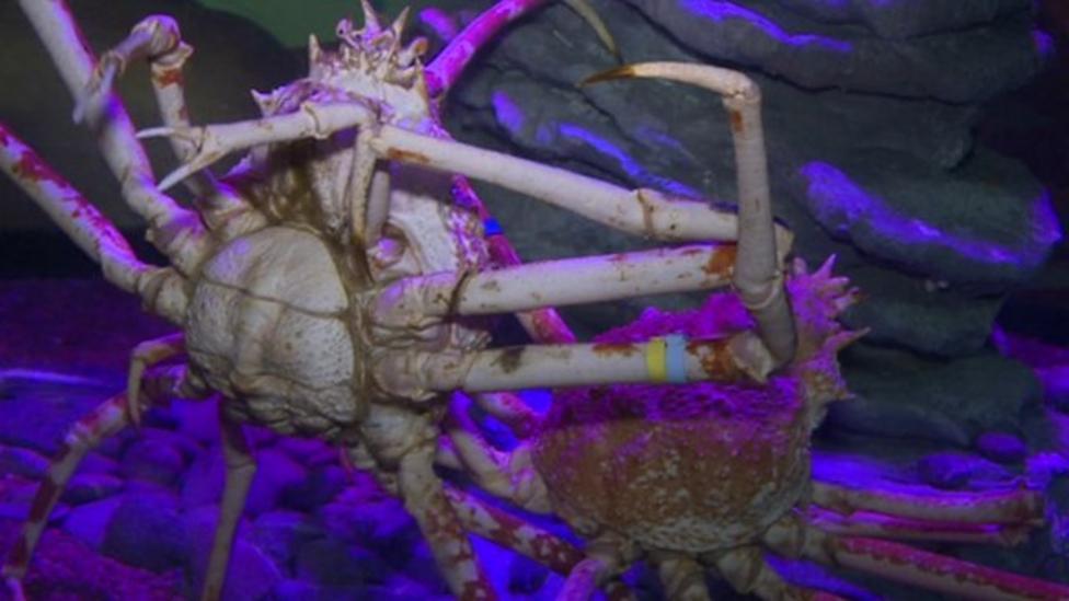 Joe meets world's biggest crabs