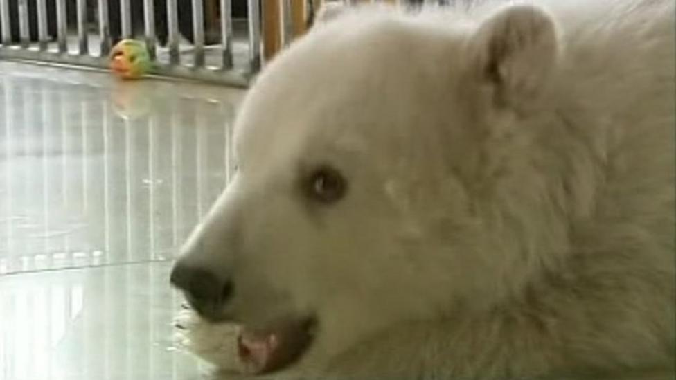Polar bear celebrates 100 days