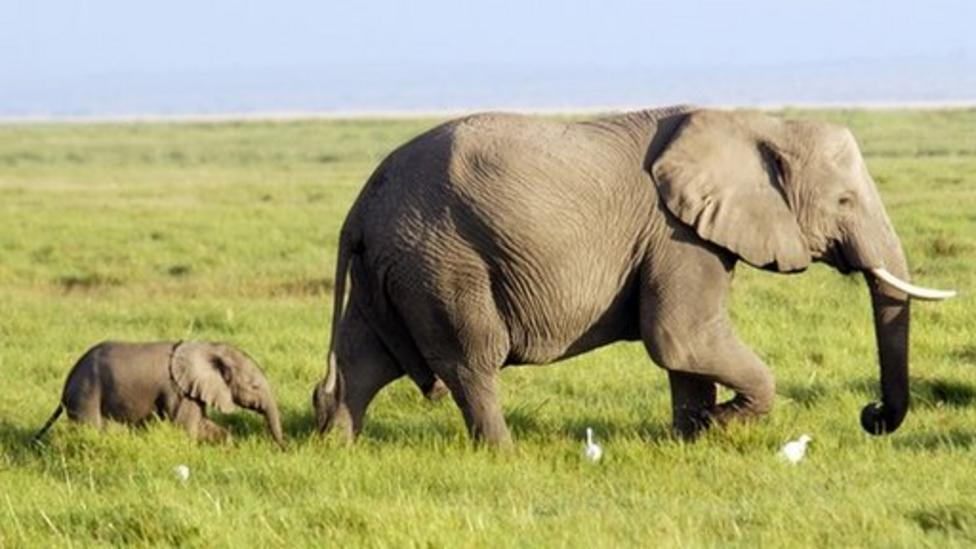 African elephant poaching on the rise