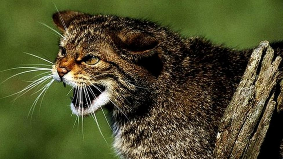 Good news for endangered wildcats