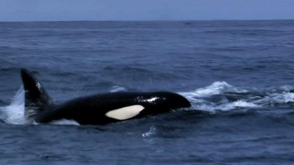 Whales intervene during orca hunt