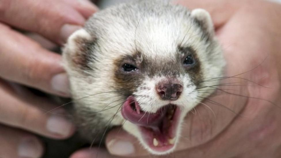 Meet Fred the Euro 2012 psychic ferret