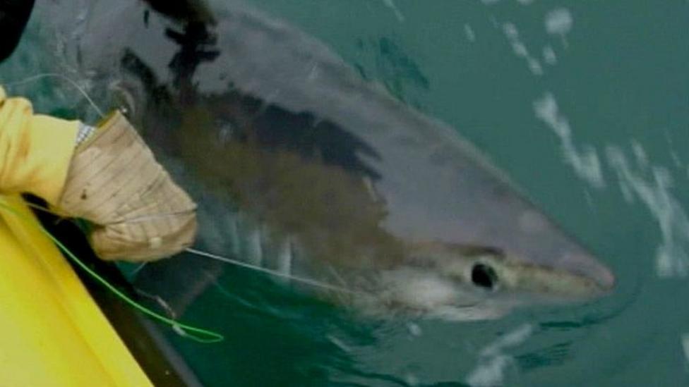 Biggest shark ever caught in Britain?