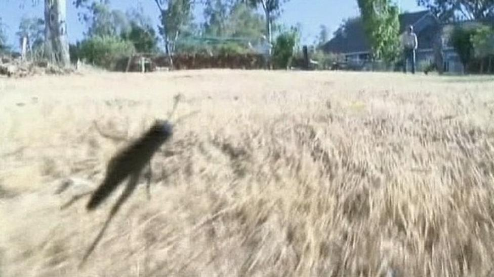 Locusts invade small town
