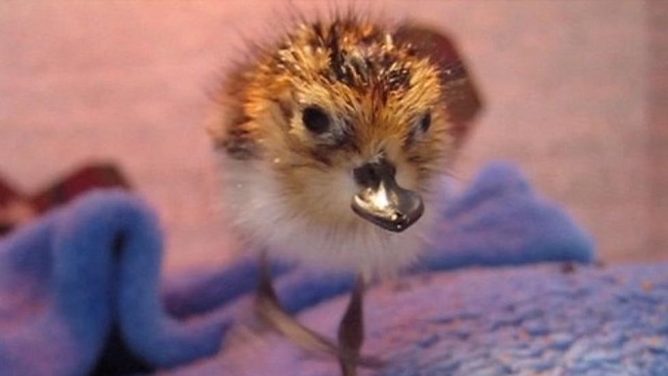 Rare spoon-billed chicks hatch