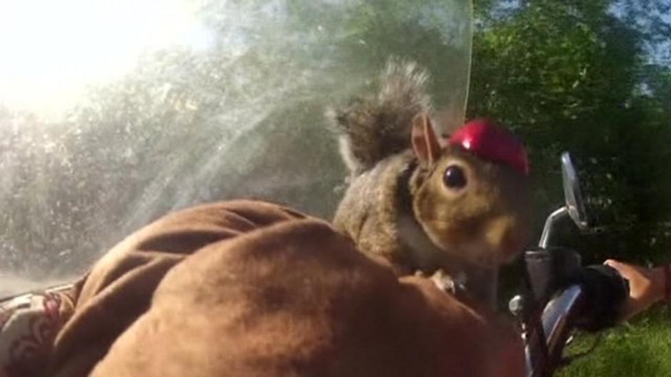 Motorbiking squirrel takes to road