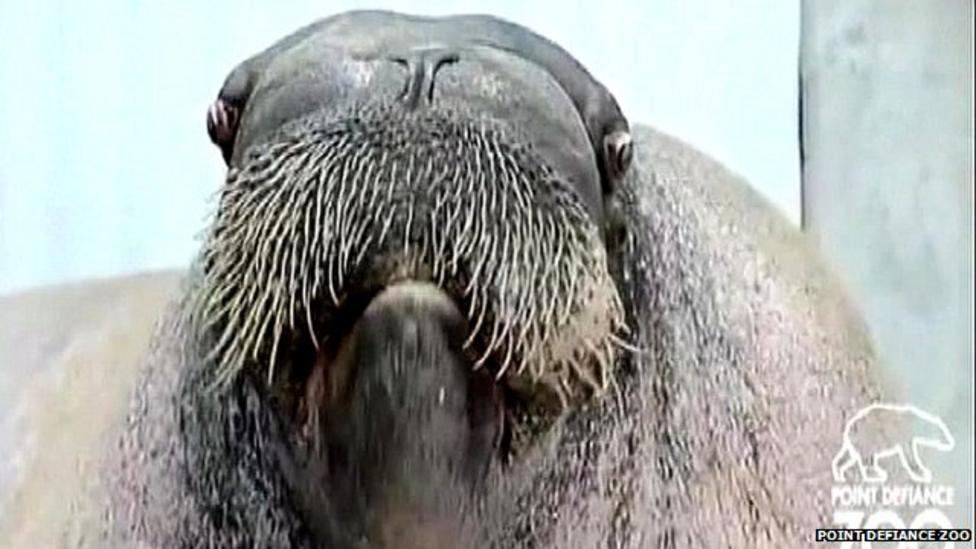 Meet the whistling singing walrus