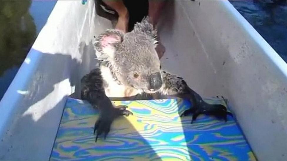 Koala hitches a canoe ride!