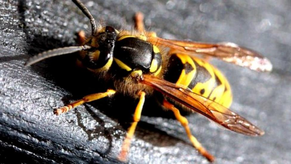 Wasps help farmers fight pests