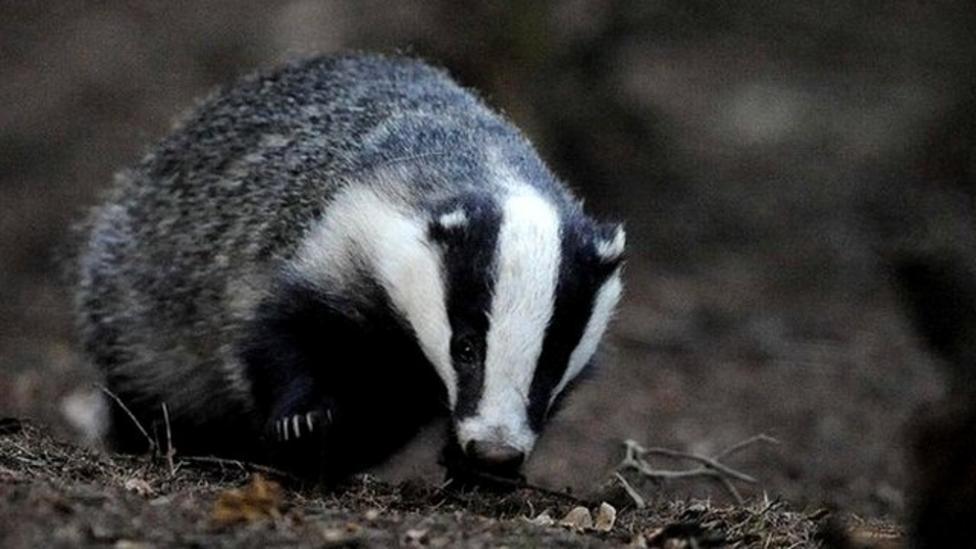 Badger cull delayed until 2013
