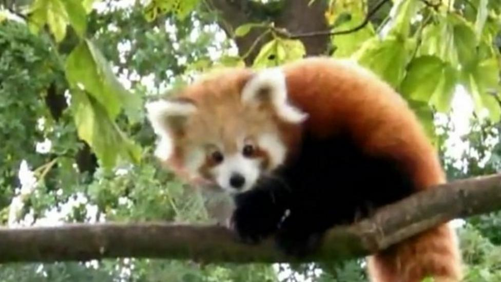Red panda cubs come out of den