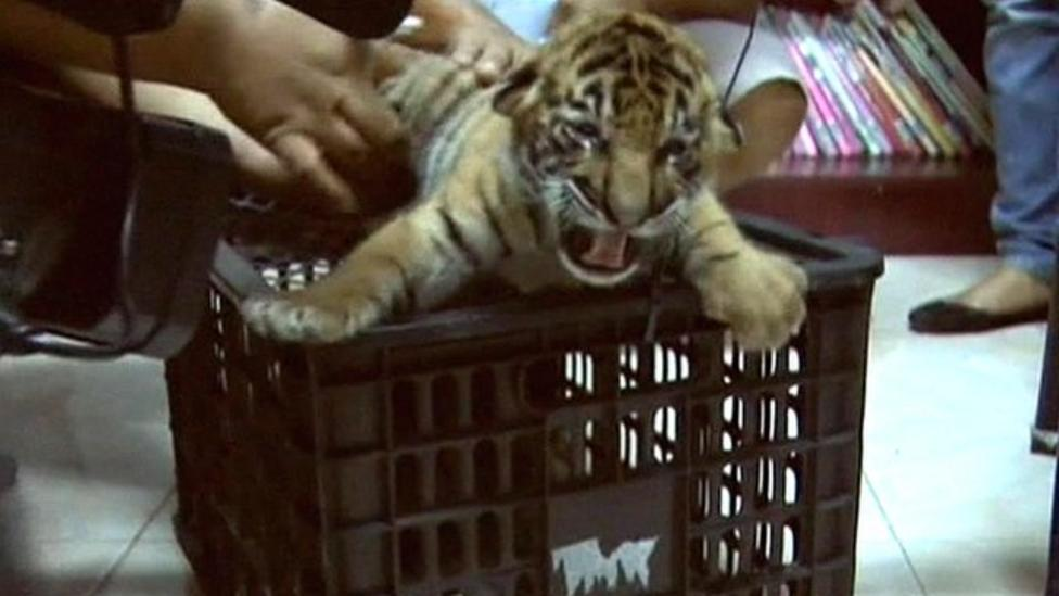 Tiger cubs rescued from truck