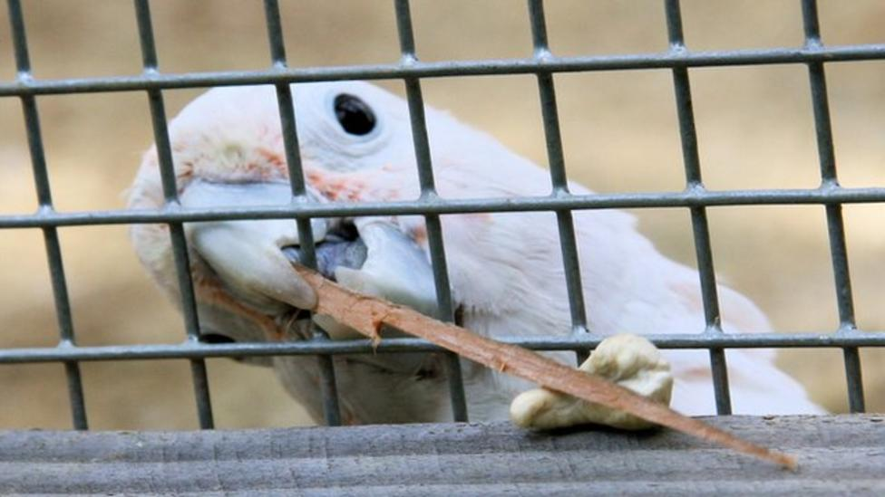 A very clever cockatoo, indeed!