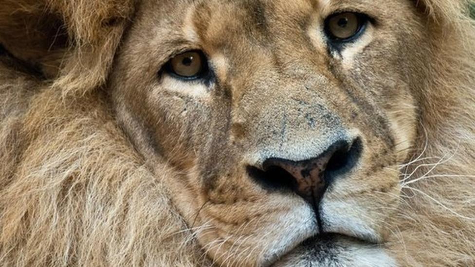Zambia bans hunting of big cats