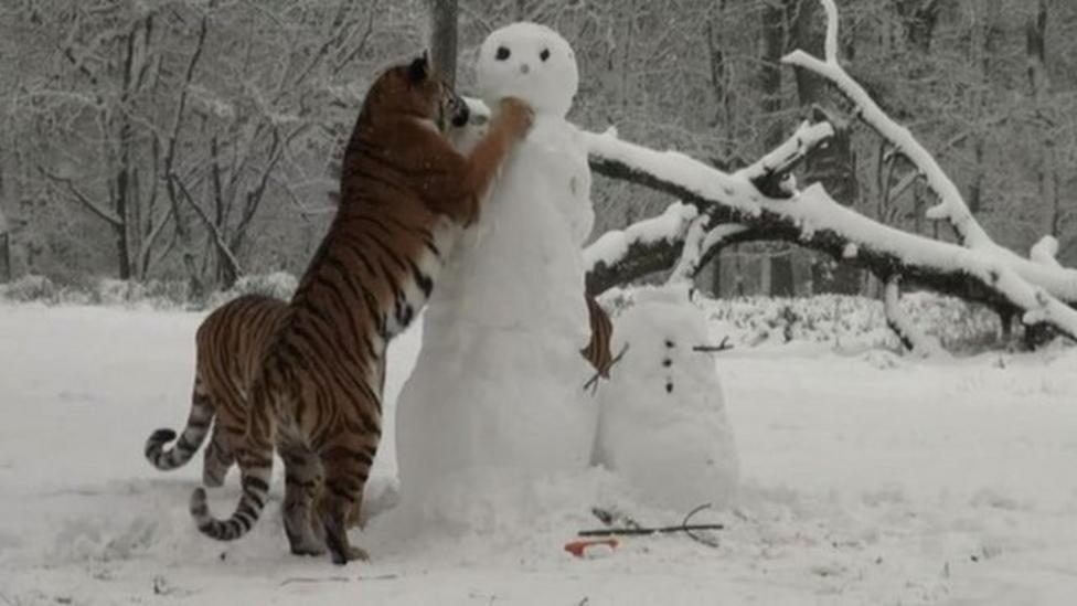 Tigers caught on snowman cam!