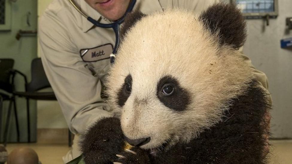 Video: Baby panda health checks