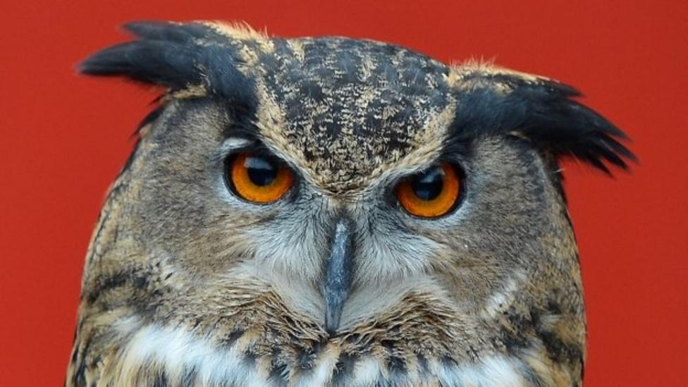 How do owls spin their heads?