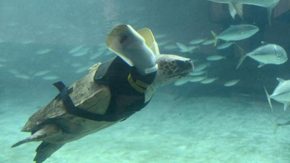 Disabled turtle gets fake flippers