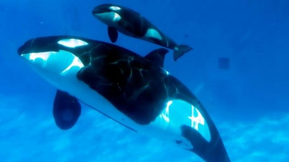 Watch the amazing birth of the killer whale calf