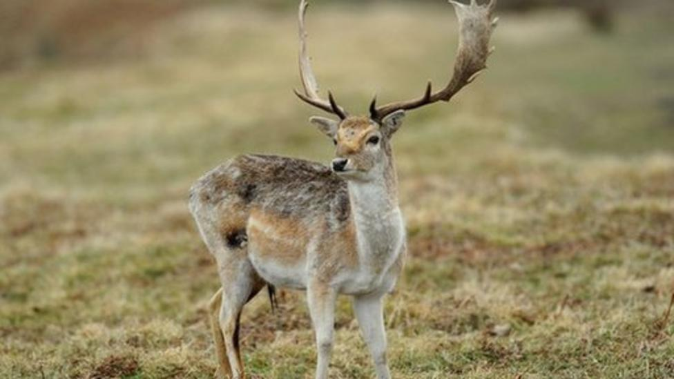 Half of UK's deer could be culled