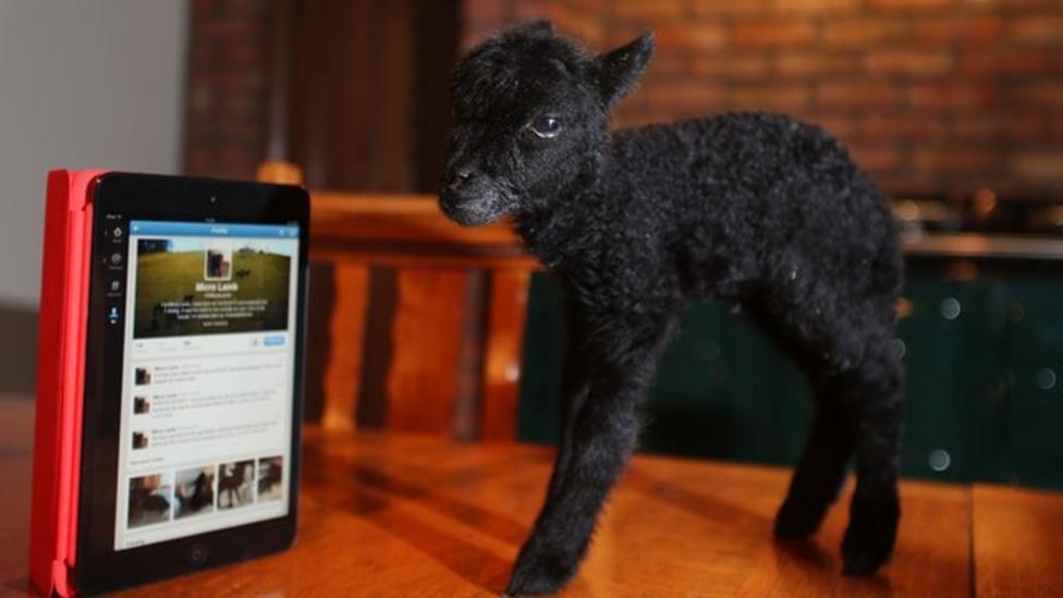 Meet Micro Lamb