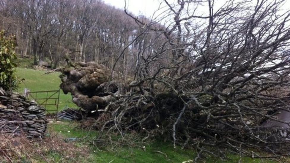UK's 'oldest' oak tree blown down