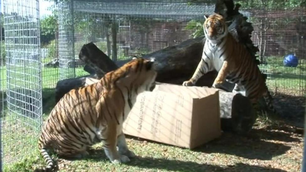 Do big cats like cardboard boxes?