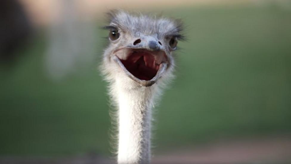 Escaped ostrich causes traffic chaos