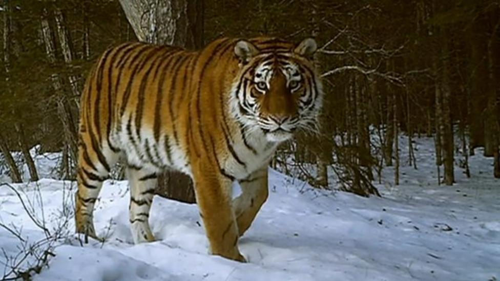 Siberian tigers filmed in the wild