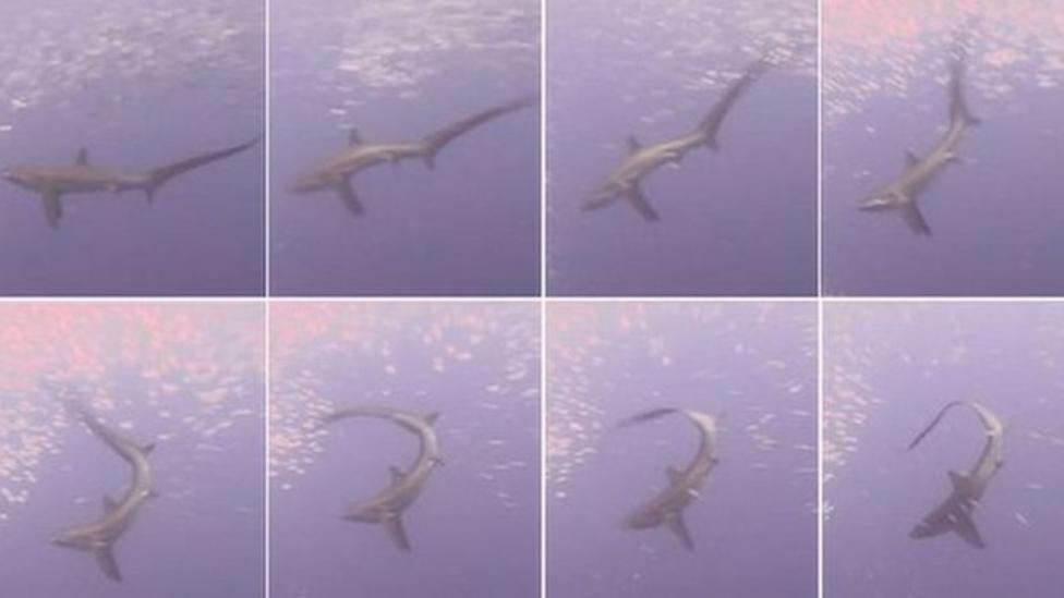 Shark uses tail to slap fish