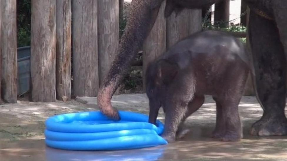Video: Baby Elephant plays at Texan Zoo
