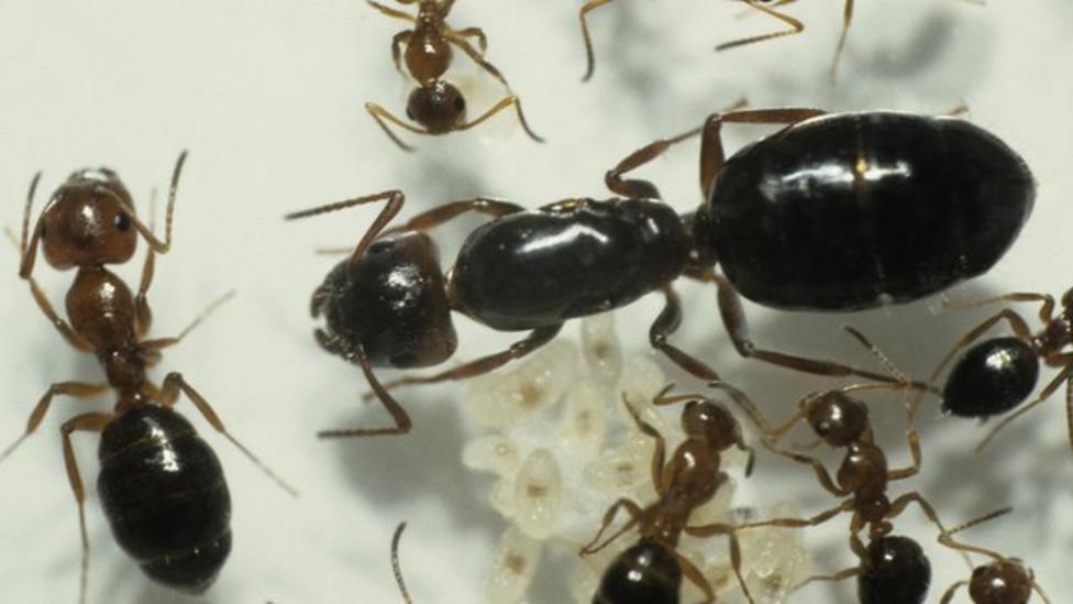 Globe trotting armies of aggressive ants